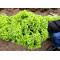 Семена салата ЛЕВАНТ (сортотип Лолло Бионда)