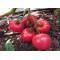 """Pomidor toxumları """"Lvovich F1"""""""