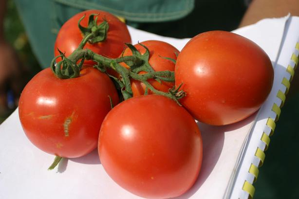 Семена помидоров оптом