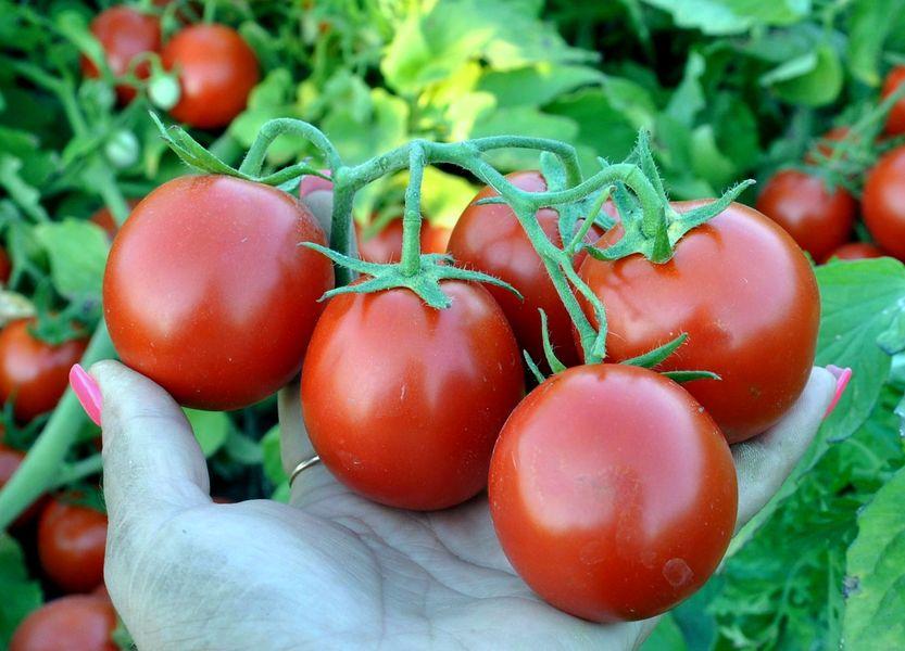 Картинки по запросу томат