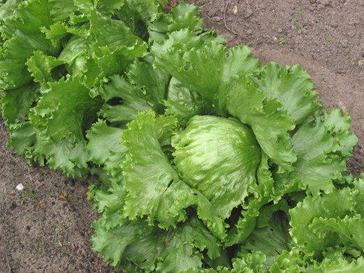 Семена салата Айсберг оптом