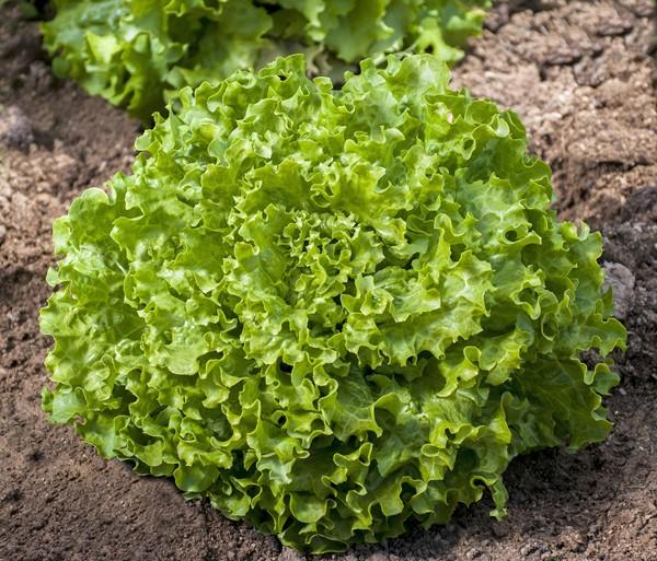 Семена салата оптом