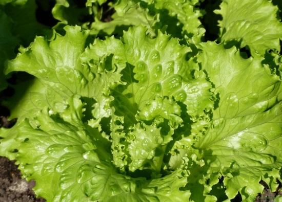 Салат посевной