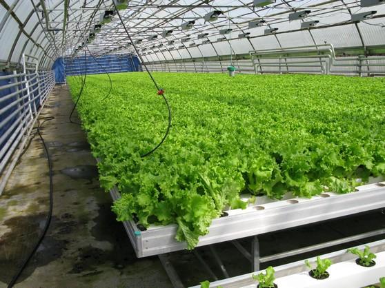 Выращивание зеленных культур в проточной культуре